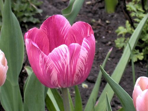 Sheila Steele tulip